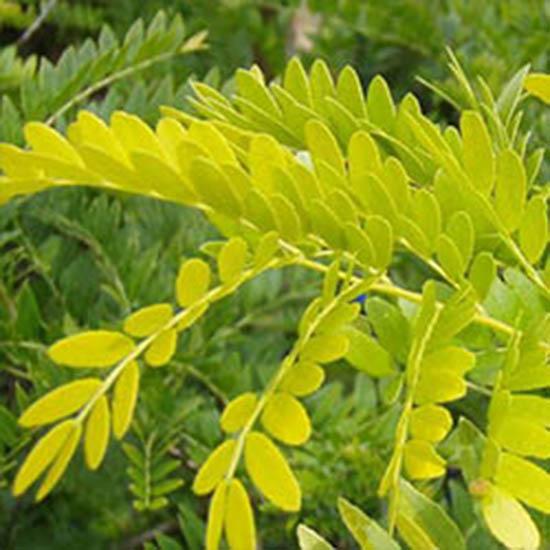 421-1-gleditsia-triacanthos-sunburst-gold-gleditschie